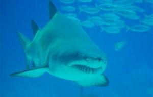 Tubarão-touro-fotos7