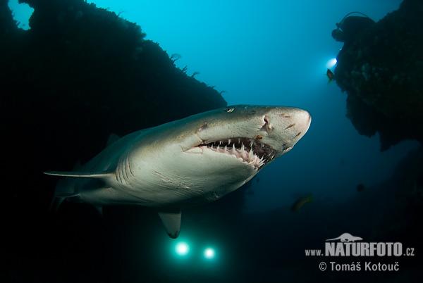 380688 carcharias taurus 6 3885 Tubarão touro: fotos