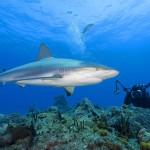 380688 tubarao+fotografo+shark filming 150x150 Tubarão touro: fotos
