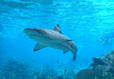 380688 tubarao Tubarão touro: fotos