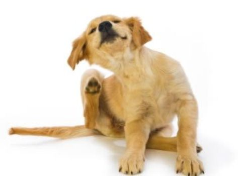 383441 cachorro cocando petrede Escabiose humana: o que é, tratamento