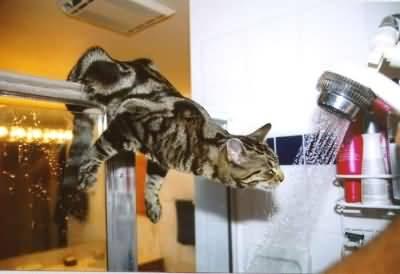 385257 04192004140351724g Como acostumar um gato a tomar banho