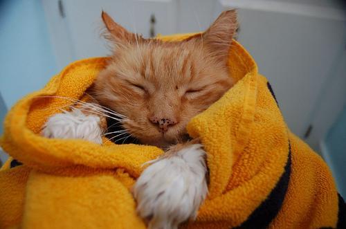 385257 o primeiro banho do seu gato Como acostumar um gato a tomar banho