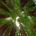 393720 Floresta Giant Redwoods 150x150 Florestas mais bonitas no mundo   fotos