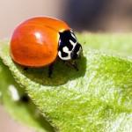 395104 A joaninha Cicloneda sanguinea 150x150 O mundo dos insetos: fotos