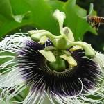 395104 abelhas 150x150 O mundo dos insetos: fotos