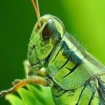395104 garfanhotos gostam de comer plantas 150x150 O mundo dos insetos: fotos