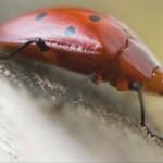 395104 joaninha 150x150 O mundo dos insetos: fotos