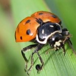 395104 joaninhas 2 150x150 O mundo dos insetos: fotos