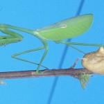395104 louva 150x150 O mundo dos insetos: fotos