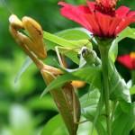 395104 louva a deus 150x150 O mundo dos insetos: fotos