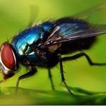 395104 mosca 150x150 O mundo dos insetos: fotos