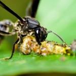 395104 vespa pertence à ordem Hymenoptera 150x150 O mundo dos insetos: fotos