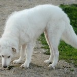 396039 Akbash 150x150 Cães de raças raras: fotos