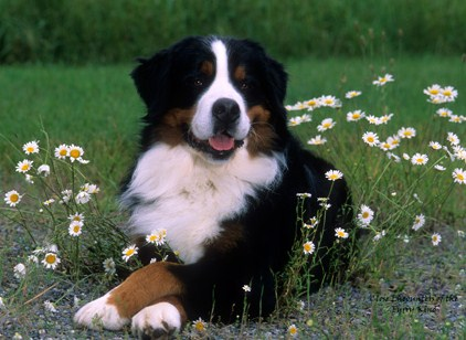 396039 Boiadeiro Bern%C3%AAs Cães de raças raras: fotos