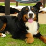 396039 Boiadeiro Bernêsee 150x150 Cães de raças raras: fotos