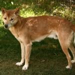 396039 Cão Cantor de Nova Guiné 150x150 Cães de raças raras: fotos