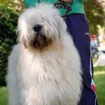 396039 Cão Pastor Romeno Miorítico 150x150 Cães de raças raras: fotos