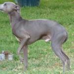 396039 Cão Pequeno Lebrel Italiano 150x150 Cães de raças raras: fotos