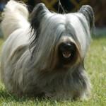 396039 Skye Terrier 150x150 Cães de raças raras: fotos