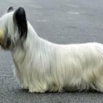 396039 skye terrier 210 10 150x150 Cães de raças raras: fotos