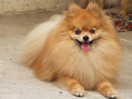 396832 Spitz alemao Raças de cachorros pequenos: fotos
