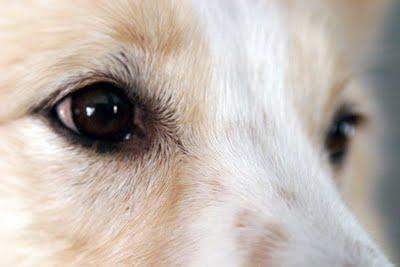 396914 0olhos de cao Conjuntivite em cães: como tratar