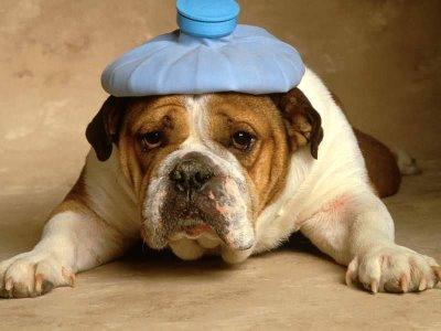 396914 cao ressaca Conjuntivite em cães: como tratar