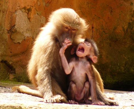 Filhote de Babuíno e sua mãe (Foto:Divulgação)