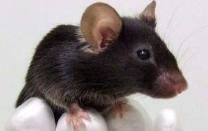 Tratamento com célula-tronco prolongou vida de roedores com lesões neurais