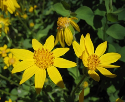 402891 www.jardineria.pro .wp content.uploads.2011.02.44 A arnica e seus benefícios