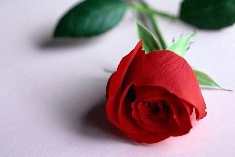 404907 rosa Dia das mulheres: Frases e poemas