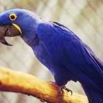 405342 Arara azul 150x150 Animais ameaçados de extinção: fotos