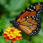 405342 Borboleta monarca 150x150 Animais ameaçados de extinção: fotos