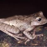 405342 Holoaden bradei 150x150 Animais ameaçados de extinção: fotos