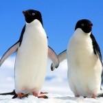 405342 Pinguim de Magalhães 150x150 Animais ameaçados de extinção: fotos