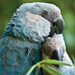 405342 ararinha azul está sendo preservada em cativeiro 150x150 Animais ameaçados de extinção: fotos
