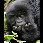 405342 gorilas das montanhas 150x150 Animais ameaçados de extinção: fotos