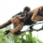 405342 guariba marrom do norte 150x150 Animais ameaçados de extinção: fotos
