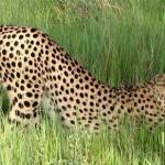 405342 guepardo 150x150 Animais ameaçados de extinção: fotos