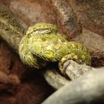 405342 jararaca ilhoa 150x150 Animais ameaçados de extinção: fotos