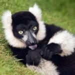 405342 lêmure preto e branco 150x150 Animais ameaçados de extinção: fotos