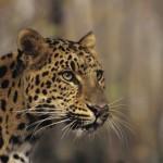 405342 leopardo de Amur 150x150 Animais ameaçados de extinção: fotos