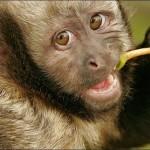 405342 macaco prego de peito amarelo 150x150 Animais ameaçados de extinção: fotos