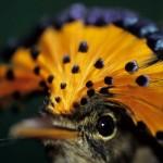 405342 maria leque do sudeste 150x150 Animais ameaçados de extinção: fotos