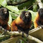 405342 mico leão de cara preta 150x150 Animais ameaçados de extinção: fotos