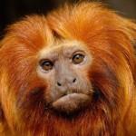 405342 mico leão dourado 150x150 Animais ameaçados de extinção: fotos