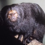 405342 mico leão preto 150x150 Animais ameaçados de extinção: fotos