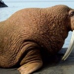405342 morsa1 150x150 Animais ameaçados de extinção: fotos