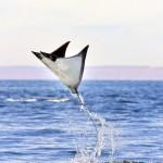 405342 raia manta dá saltos no mar 150x150 Animais ameaçados de extinção: fotos